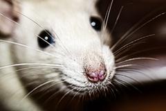 closeup of a white rats nose - stock photo