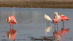 Wading Birds including Roseate Spoonbills,  preening Stock Footage