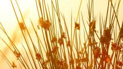 Wild plants near the lake, camera moving up, sunset Stock Footage