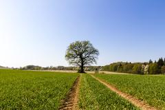 skidmarks in a spring field leading to an old oak - stock photo