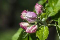 apple blossom, malus domestica, closed - stock photo