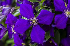 Clematis jackmannii single blossom Stock Photos