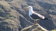 Seagull on rock - stock footage