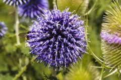 Stock Photo of closeup of a thistle, onopordum acanthium