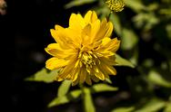 Stock Photo of closeup of a yellow chrysanthemum