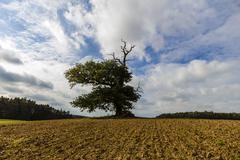 thousand year old oak in between a field - stock photo