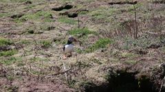 Puffins wondering about Stock Footage