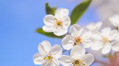 Apple blossoming flowers in the spring as seasonal background. Stock Footage