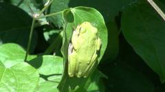 Europäische Laubfrosch (Hyla arborea) Stock Footage