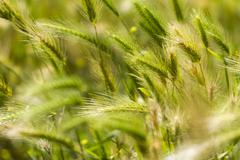 detail of a green spring wheat field, with some blurred ears - stock photo