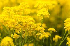 basket of gold, (aurinia saxatilis) in spring - stock photo