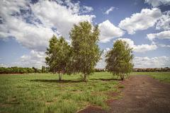 three birch trees at the tempelhofer feld, berlin germany - stock photo