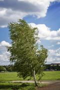 birch tree at the tempelhofer feld, berlin germany - stock photo
