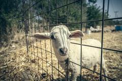 cute lamb looking through a metal fence - stock photo