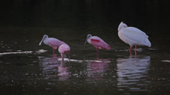 Roseate Spoonbills and White Pelican standing in water Stock Footage