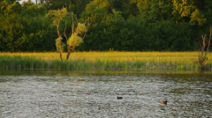 Two birds in the lake near meadow and trees in the evening in summer Stock Footage