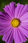 close up of a purple flower with yellow stigma - stock photo