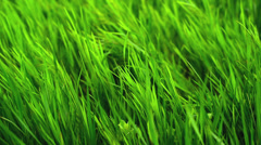 Fresh green grass swinging on the wind as spring season background. Stock Footage