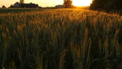 Big wheat field in the country, sunset, camera moving up Stock Footage