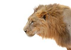 Male lion head isolated Stock Photos
