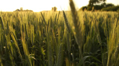 Wheat field in the country in summer, agriculture Stock Footage