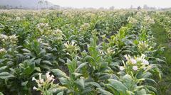 Tobacco Farm Plant Of Thailand (crane shot) Stock Footage