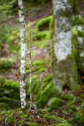 pyrenees woods - stock photo