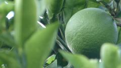 Lemon,  lime, Tangerine, Orange Stock Footage