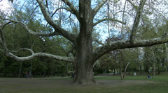 4K 200 years old Platanus Plane Tree in Spring 1 tilt Stock Footage