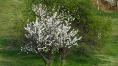 Spring Tree with White Flowers Stock Footage