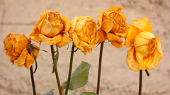 Dry yellow rose flowers Stock Footage