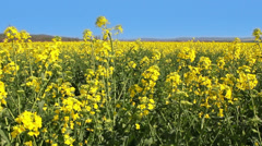 Field of rapeseed in motion - stock footage