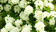 Bee flower bush Stock Footage