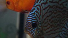 Discus fish- Symphysodon aequifasciatus in aquarium. Stock Footage