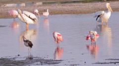 White Pelicans,  Roseate Spoonbills, Ibis,  preening Stock Footage