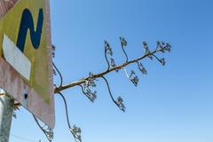 Exotic agave and traffic sign isolated on blue sky Stock Photos