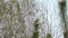 Lark sitting on a pine tree Stock Footage