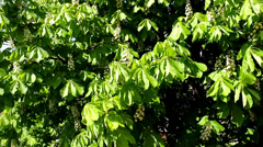 Stock Video Footage of chestnut Green leaves