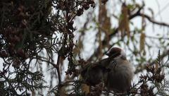 Stock Video Footage of Sparrows copulate on coniferous tree
