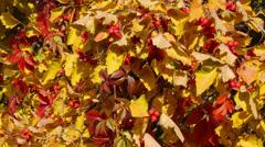 Sunny hawthorn branch, sunny autumn day Stock Footage