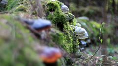 Chaga mushroom wood Stock Footage