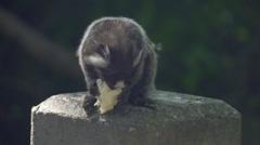 Rio De Janeiro- monkey feeding in park Stock Footage
