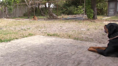 Purebred Rottweiler and German Shepherd dogs sitting opposite sides of the yard Stock Footage