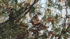 Sparrow sitting on a branch and tweets Stock Footage