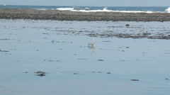 Heron walking in ocean on Ireland's West Coast Stock Footage