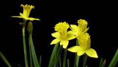 Daffodil Timelapse Stock Footage