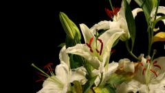 White Lily Timelapse Stock Footage