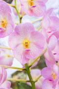 pink orchids(vanda) - stock photo