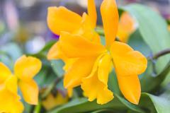 cattleya orchid - stock photo