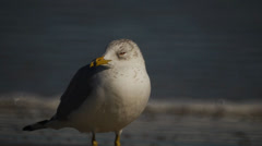 Seagull on the beach Stock Footage